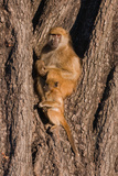 Baboon Tree Photographic Print by Howard Ruby