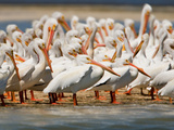Group of Pelicans Photographic Print by Howard Ruby