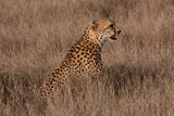 Cheetah II Photographic Print by Howard Ruby