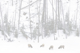Elk Grazing Photographic Print by Howard Ruby