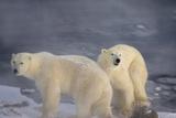 Polar Bears and Mist Stampa fotografica di Howard Ruby