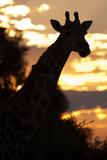 Giraffe Sillhouette Stampa fotografica di Howard Ruby
