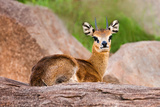 Klipspringer Photographic Print by Howard Ruby