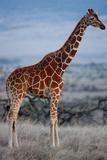 Reticulated Giraffe II Stampa fotografica di Howard Ruby
