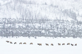 Elk in Snowstorm Photographic Print by Howard Ruby