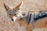 Black-Backed Jackal Photographic Print by Howard Ruby