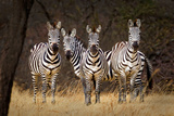 Zebras Looking Photographic Print by Howard Ruby