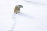 Polar Bear Tracks in the Snow Stampa fotografica di Howard Ruby