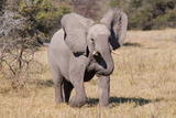 Baby Elephant III Photographic Print by Howard Ruby