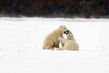 Polar Bear Fight III Photographic Print by Howard Ruby