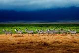 Zebra in a Row Fotografisk tryk af Howard Ruby