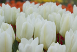 White Tulips II Photographic Print by Dana Styber