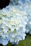 Hydrangeas IV Lámina fotográfica por Karyn Millet