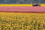 Tractor and Tulips I Photographic Print by Dana Styber