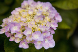 Hydrangeas I Photographic Print by Karyn Millet