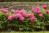 Garden Peonies II Photographic Print by Karyn Millet