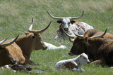 Longhorn Cattle in the Black Hills, South Dakota Lámina fotográfica