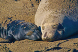 Elephant Seals II Photographic Print by Lee Peterson