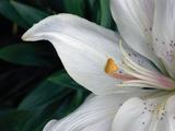Macro Lily Photographic Print by Jim Christensen