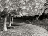 Fall Maple Fever IV B&W Photographic Print by Vitaly Geyman