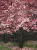 Pink Dogwood III Photographic Print by Vitaly Geyman