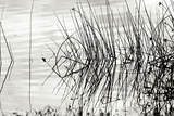 Reeds 2 Photographic Print by Lee Peterson