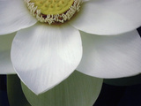 Macro Lotus Fotografisk tryk af Jim Christensen