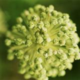 Allium Photographic Print by Bob Stefko