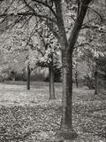 Fall Tree Grove I B&W Photographic Print by Vitaly Geyman