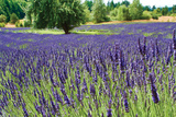 Lavender Field I Photographic Print by Dana Styber