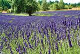 Lavender Field I Photographic Print by Dana Styber