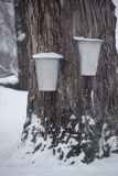 Buckets for Collecting Sap on a Maple Tree in Maine Photographic Print