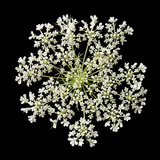 Queen Anne's Lace II Photographic Print by Jim Christensen