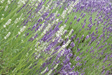 Flowing Lavender II Photographic Print by Dana Styber