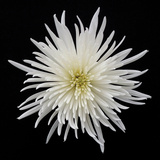 Chrysanthemum I Photographic Print by Jim Christensen