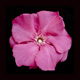 Pink Flower Photographic Print by Lee Peterson