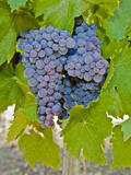 Cougar Winery Grapes I Photographic Print by Lee Peterson