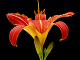 Day Lily II Photographic Print by Jim Christensen