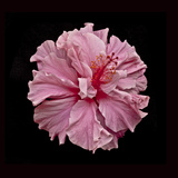 Pink Hibiscus Photographic Print by Lee Peterson