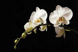 Orchid on Black Photographic Print by Karyn Millet