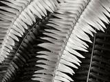 Fern I Fotografisk tryk af Jim Christensen
