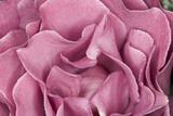 Rose Up Close II Photographic Print by Lee Peterson