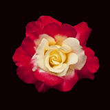 Red and White Rose Photographic Print by Lee Peterson