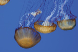 Jellyfish VI Photographic Print by Erin Berzel