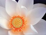 Lotus I Photographic Print by Jim Christensen