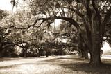 Charleston Oaks 9 Sepia Photographic Print by Alan Hausenflock