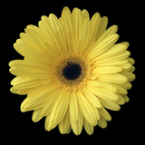 Yellow Gerbera Daisy Fotografisk tryk af Jim Christensen