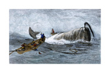 Whalers in Longboats Lancing a Whale with Harpoons, 1800s Giclee Print