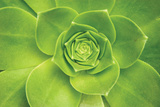 Succulent II Photographic Print by Karyn Millet