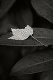 Water Leaf II B&W Photographic Print by Vitaly Geyman